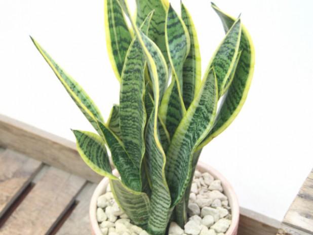 観葉植物の癒やし効果でストレスフリー:サンスベリア