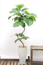 APEGO人気観葉植物ランキング ウンベラータ