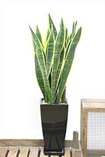 APEGO人気観葉植物ランキング サンスベリア