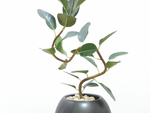 ゴムの木の挿し木、成功のカギは「水」にあり