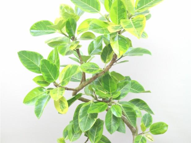 ゴムの木の育て方で気をつけるべきポイント