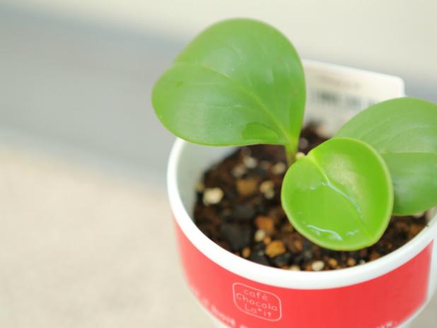 丸い葉っぱのペペロミア