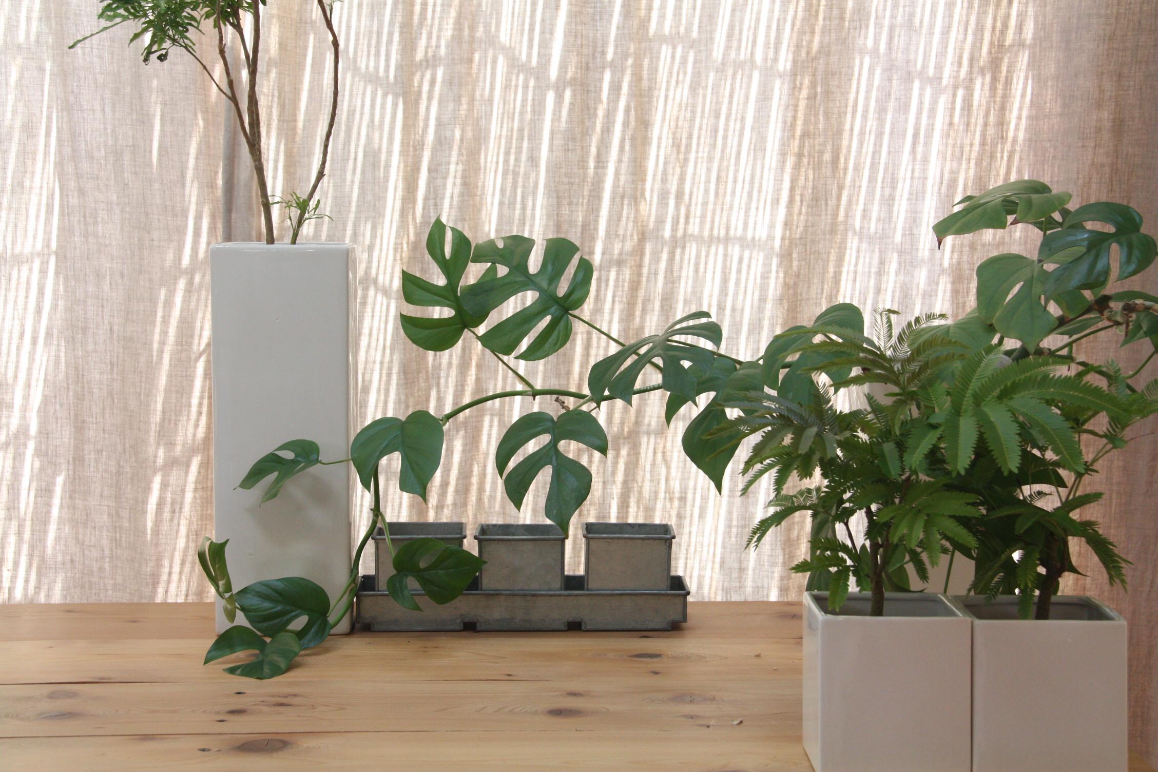 サイズの異なる観葉植物の組み合わせ