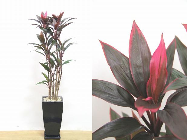 縁起がよい植物とされるドラセナ