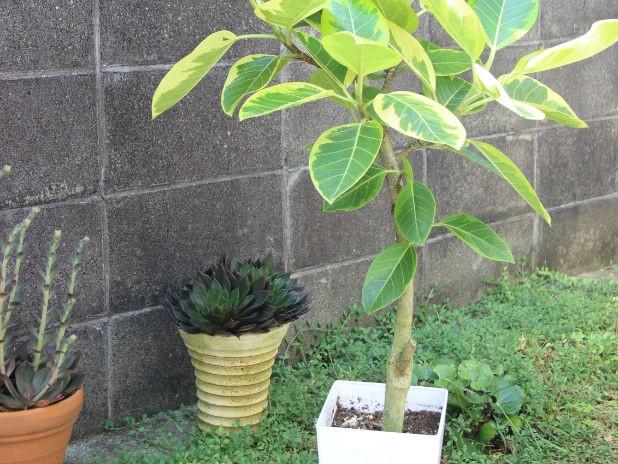 ゴムの木の植え替え時期と方法について