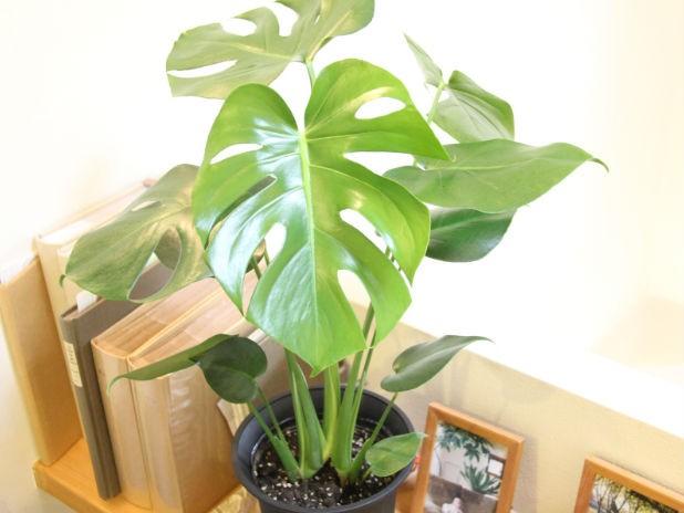 インテリアグリーンで室内をおしゃれに!おすすめの観葉植物特集