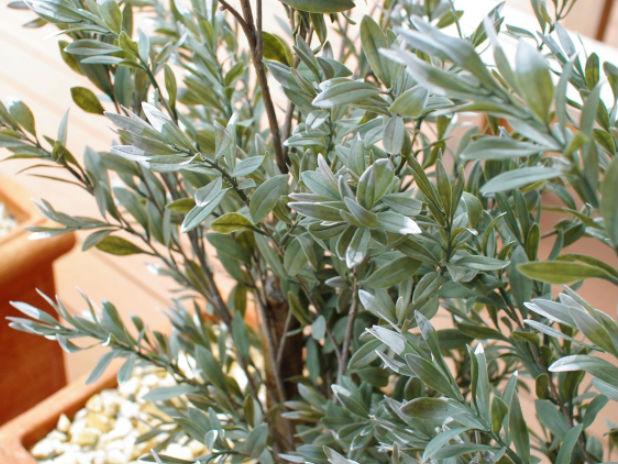 屋外に置いたオリーブの木