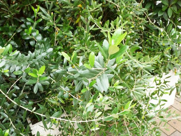 害虫から木を守る!オリーブの木の害虫対策