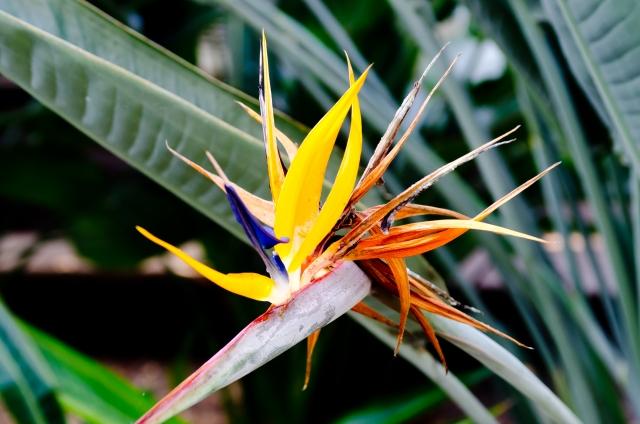 ストレチアの花