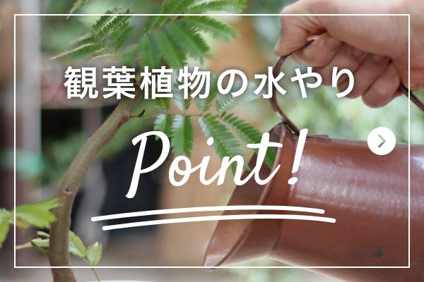 観葉植物の水やりPoint!