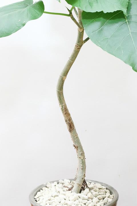 幹の長い曲がりウンベラータ