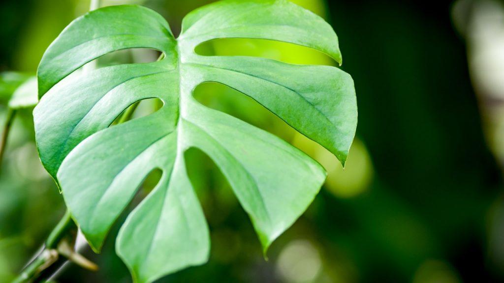 モンステラの葉の切れ込みや穴はどうやってできるの? | 観葉植物の ...