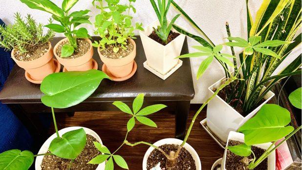 枯れない観葉植物を探している人におすすめの種類は?