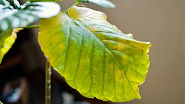 観葉植物の葉がシワシワ、葉が黄色になってしまったら