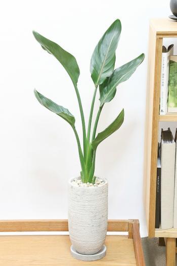 ストレチア レギネ スリムでスタイリッシュ。丈夫で育てやすいインテリアグリーンです。