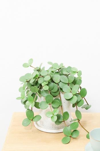 ペペロミア ホープ かわいいミニサイズなので、いろんなところに飾れる観葉植物