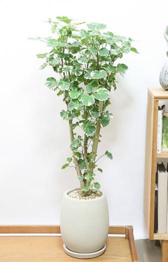 ポリシャス マルギナータ 葉の模様がとても美しくて人気の観葉植物です!