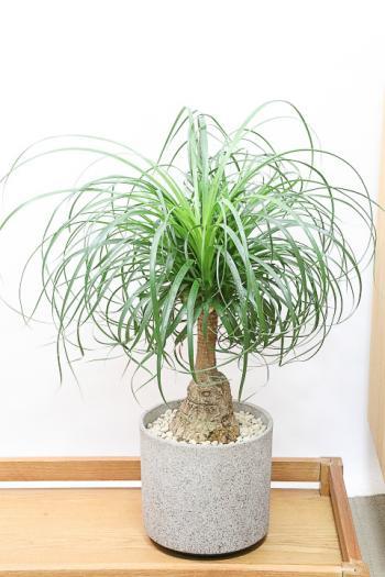 ノリナ 幹がとても個性的で育てやすい観葉植物!