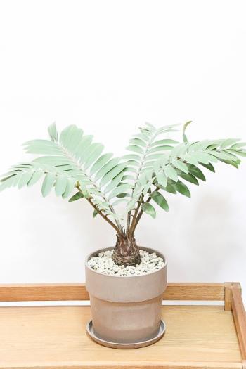ザミア 個性的なフォルムが特徴の希少な観葉植物!