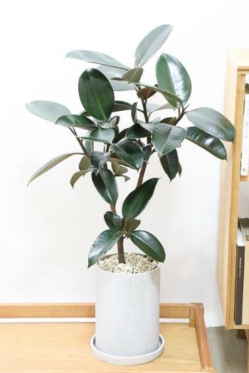 フィカス・バーガンディ お手頃なサイズ感でシックな葉色がとても美しいゴムの木です!!