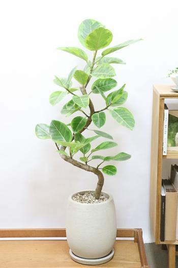アルテシマ 個性的な幹!葉色がとても美しく、丈夫で育てやすい!インテリアにおすすめ!