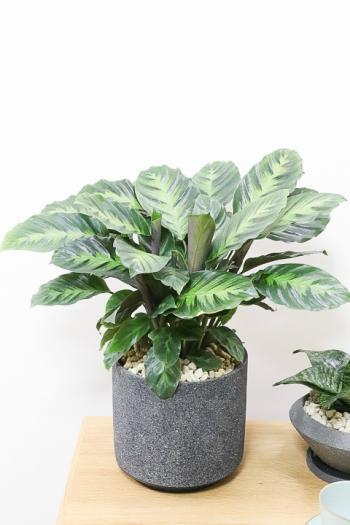 カラテア ロウイサエミスト カラフルは葉色がとても美しい観葉植物です!