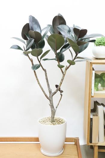 フィカス・バーガンディ 存在感のあるサイズ!!シックな葉色がとても美しい観葉植物!!