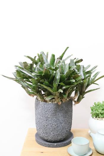 ネオレゲリア 個性的な葉色が人気の観葉植物です!