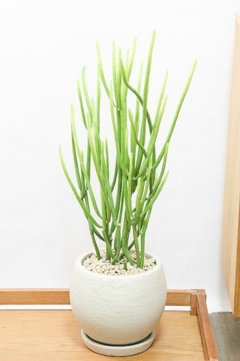 ユーフォルビア  セドロルム 個性的はフォルムの多肉植物。希少な植物なので、この機会にぜひ!