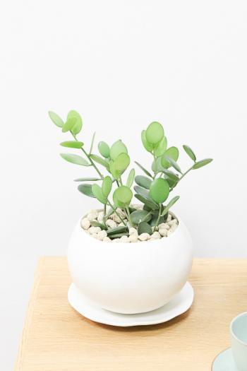 グリーンドラム まんまるの葉がとてもかわいい人気の多肉植物