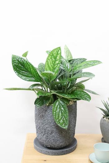 モンステラ ジェイド シャトルコック 葉の模様がとても個性的な観葉植物です!