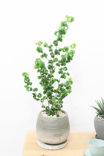 ベンジャミン バロック くるくるの葉がかわいい!人気の観葉植物!