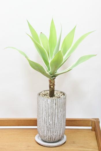 アガベ レイオブライト お手頃なサイズ。美しい葉が特徴の多肉植物!