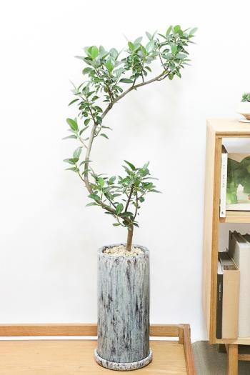 フランスゴム スタイリッシュ樹形のBIGサイズ。肉厚のかわいい葉っぱが特徴の観葉植物です。