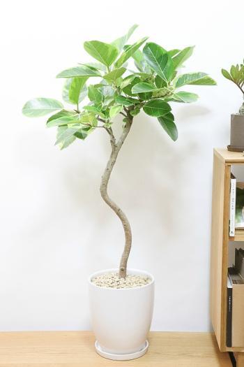 アルテシマ 葉色がとても美しく、丈夫で育てやすい!インテリアにおすすめの観葉植物!