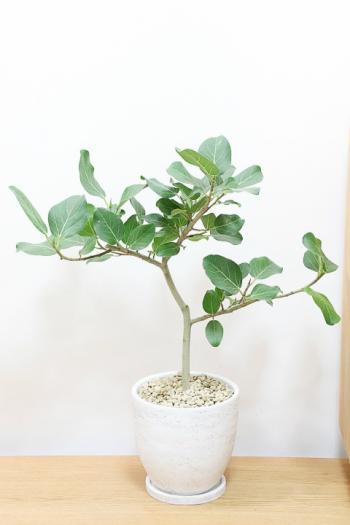ベンガレンシス 葉の緑がとても美しくてボリュームがある観葉植物です!