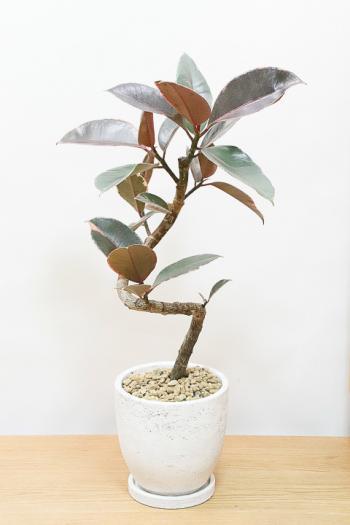 フィカス・ルビー お手頃で個性的な樹形。鮮やかな葉色がステキな観葉植物!
