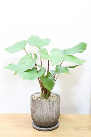 ホマロメナ ルベスケンス カラフルは葉色がとても美しい観葉植物です!