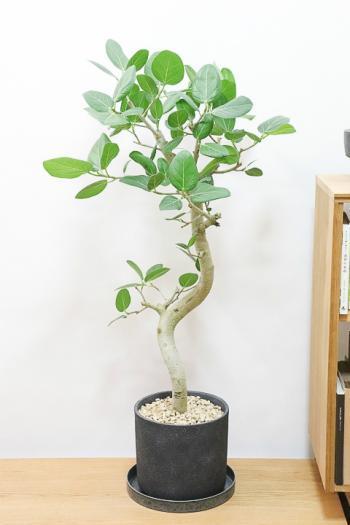 ベンガレンシス 存在感のある樹形。葉の緑がとても美しくてボリュームのあるインテリアグリーン