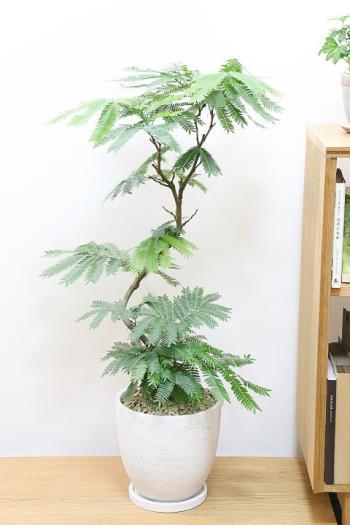 エバーフレッシュ 個性的な幹が美しい。夜になると閉じる葉が特徴の観葉植物。