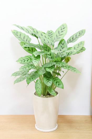 カラテア レオパルディナ カラフルは葉色がとても美しい観葉植物です!