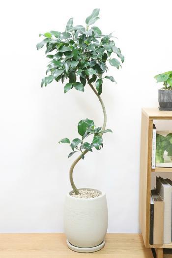 フィカス ジャンボリーフ スタイリッシュな樹形なので、インテリアにはおすすめの観葉植物です!