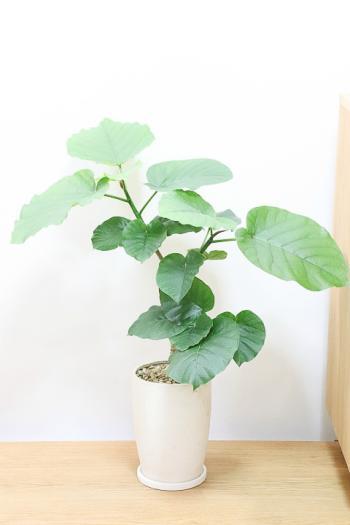 ウンベラータ ハート形の葉が美しく、インテリアに人気の観葉植物!!