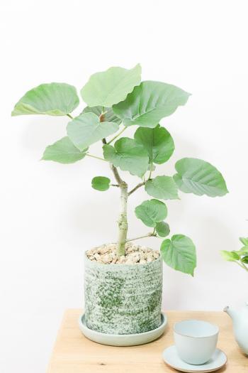 ウンベラータ しっかりとした幹が美しく、インテリアに人気です!!