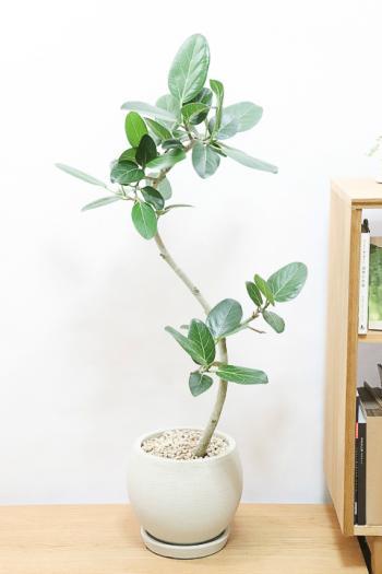 ベンガレンシス スタイリッシュな樹形。葉の緑がとても美しくてボリュームのある観葉植物