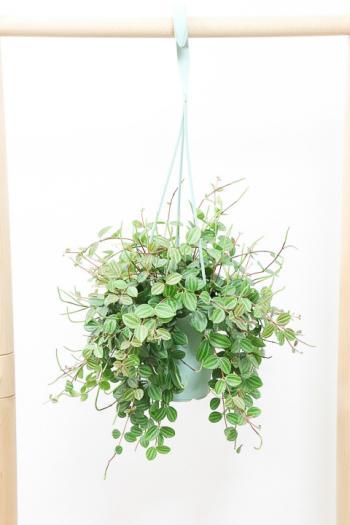 ペペロミア アングラータ 飾りやすい吊り鉢タイプ!多肉質な葉がとてもかわいい♪
