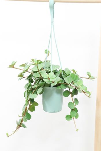 ペペロミア ホープ 飾りやすい吊り鉢タイプ!多肉質な葉がとてもかわいい♪