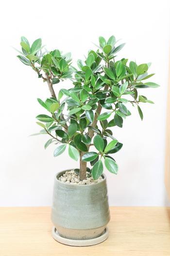 ガジュマル かわいい葉っぱなのでインテリアにはぴったりの観葉植物!