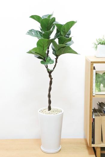 カシワバゴム 個性的な幹のカーブが美しい人気の観葉植物です!