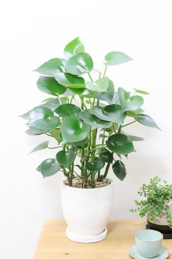 ペペロミア  ジェイド 葉がプニプニしていてかわいい。育てやすくて人気の観葉植物です!!